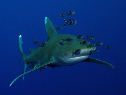 Oceanic Whitetip and pilot fish. Canon G9 with Ikelite st... by James Dawson